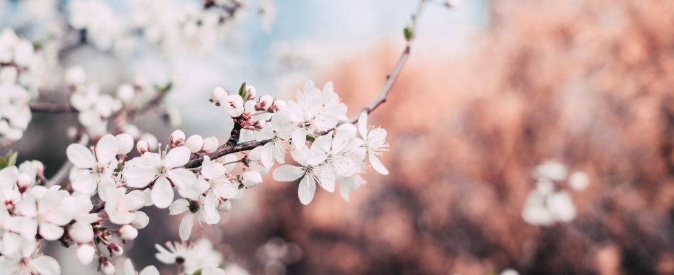 Kirsebærtræ blomster